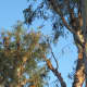 May 17, 2012: Eucalyptus still makes a good roost for a friend. This gives you a bit of a sense of how high up they usually are.