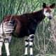 Okapi; live specimen living in Disney's Animal Kingdom