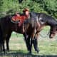 American Saddlebred Horses are exceptional riding mounts