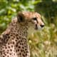 Not all bottlenecks are recent, or caused by Humans. Genetic analysis suggests that the Cheetah went through a bottleneck at the end of the Pleistocene, around 10,000 years ago.