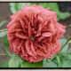 Brown Rose - Brown Velvet