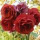 Brown Rose - Brown Velvet Garden Addiction