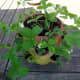 Strawberry pot planted up.
