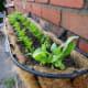 Hanging basket growing carrots