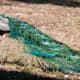 Peacocks in Lokrum island