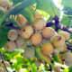 Ginkgo biloba seed with the fleshy seed coat.
