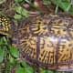 what-you-should-know-about-eastern-box-turtles