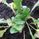New transplant of mixed salad greens.