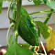 Three peppers started to form on our one pepper plant.  It did very well... at first.