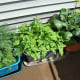 """Carrots on the left, Bok Choy on the right and """"Strawberry Spinach"""" in the middle (those didn't do well at all!)"""