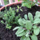 Sage, thyme and cilantro share a pot.
