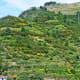 Riomaggiori terraced vineyards