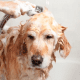 Figure 10. The senior dog is aking a bath.
