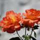 Woodland Rose Garden - Seattle