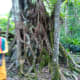 Strangler Fig or Banyan Tree