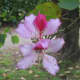 Kachnar flower