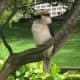 Kookaburra in the Royal Botanic Garden.