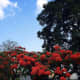 Beautiful flowers in Flame tree | Archana Das