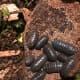 Dark gray Armadillidium Vulgare adults. Wild caught in the southeast U.S.