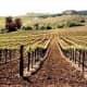 Vineyards in Carneros