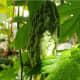 Bitter melon (ampalaya)