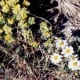 The white daisy-like flowers are DESERT STAR