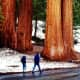 People walking by some sequoia trees