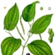 Peppercorn: the plant and fruit stages of maturity.
