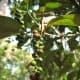 Peppercorn plant