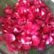 Draining washed rose petals.