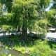 A bald cypress on land