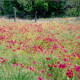 Field of Wild Phlox and More