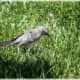 mockingbirds-and-their-excellent-mimicry-of-sounds