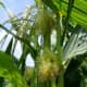 Here you can see the tassel above, releasing anthers onto the sticky corn silk below.