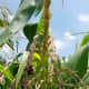 Bees collect pollen from the corn tassel.