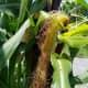 Corn silk can get quite long.
