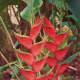 Nani Mau garden plant