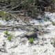 Gopher in the Sugar Sand. Gomez Preserve Nature Trail, Hobe Sound,  Florida.