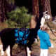 Llamas can be rented for use as pack animals when hiking in Yosemite.