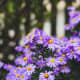 new-york-aster-how-to-grow-and-take-care-of-perennials