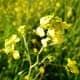 The stem tip is around two feet tall, and its branches hold a tiny little cluster of these cheery-looking yellow flowers.