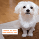 Maltese learn to climb up on furniture early!