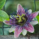 how-passionflower-maintains-ecology-and-cures-health-issues