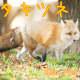 Red Fox (Kitakitsune)
