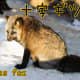 Cross Fox (Jyuji-gitsune)