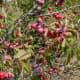 Wild plums come in a variety of jewel-tones, including ruby red...