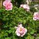 Roses from Zur Linde Restaurant.