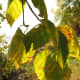 Birch leaves in the sun