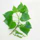 (Poplar) Eastern Cottonwood Leaves and Seed Fruit