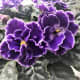 """African Violet grows to about 4"""" high and wide. Native to East Africa."""